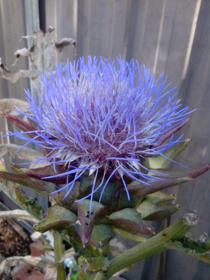 Artchoke flower