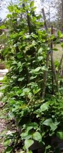 Bean plant 2