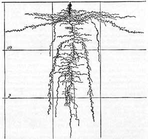 Eggplant Roots