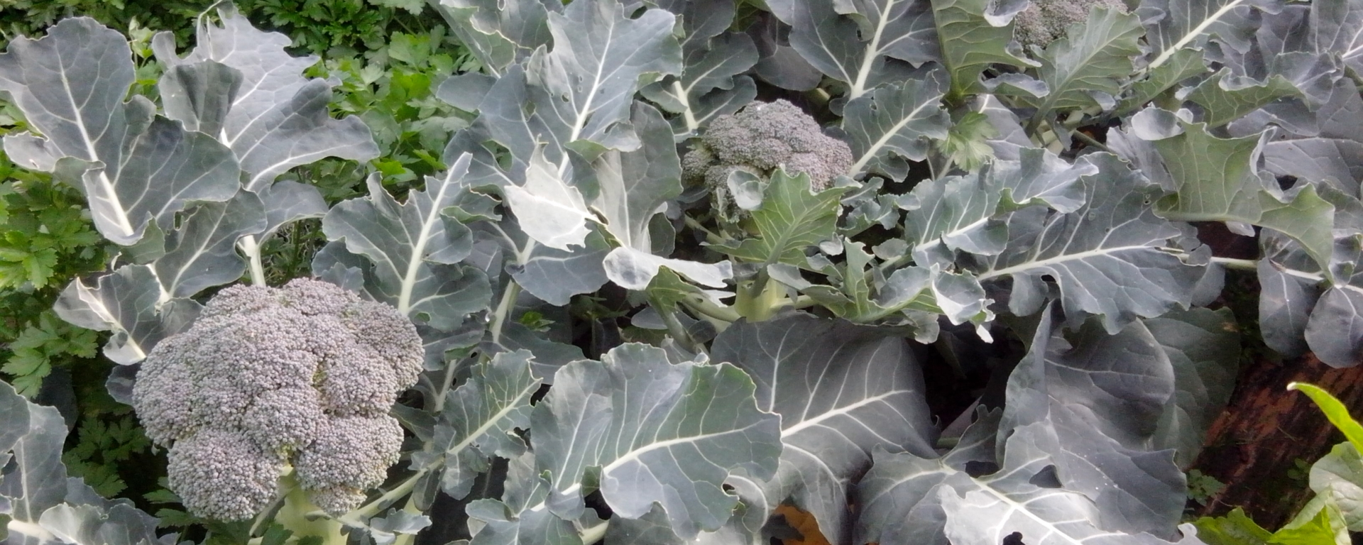 how to grow your own broccoli