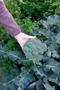 Harvesting broccoli