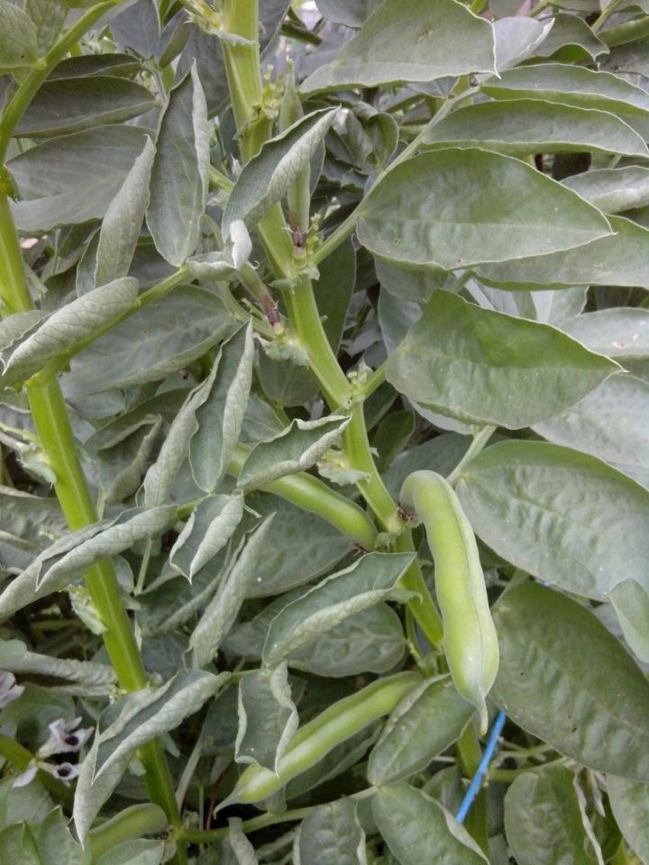 IMG_20130915_151350-Broad bean plant