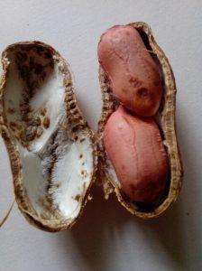 Peanut Kernel in opened pod