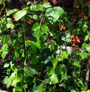 IMG_20151109_131831-Scarlet Runner bean plants