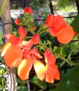 Scarlet Runner Flower