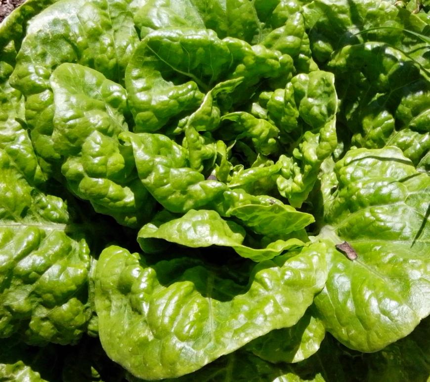 Mignionette lettuce