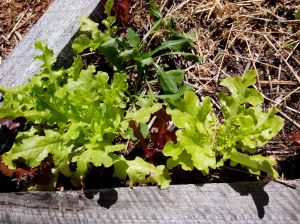 Loose Leaf Lettuces