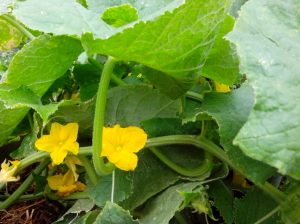 IMG_20151114_084902- cucumber flowers