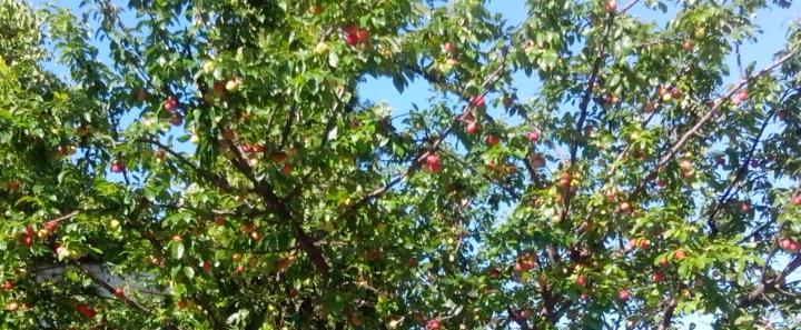 IMG_20151117_161328-plum tree