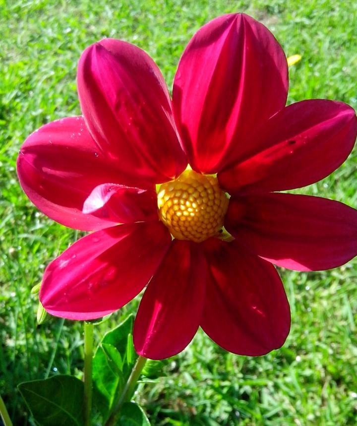 IMG_20151120_083309 (1)Dahliah flower 1