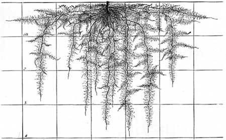 Capsicum root system
