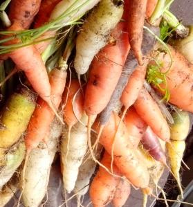 Carrots colours