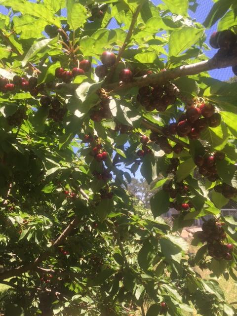 IMG_1128-cherry tree 2