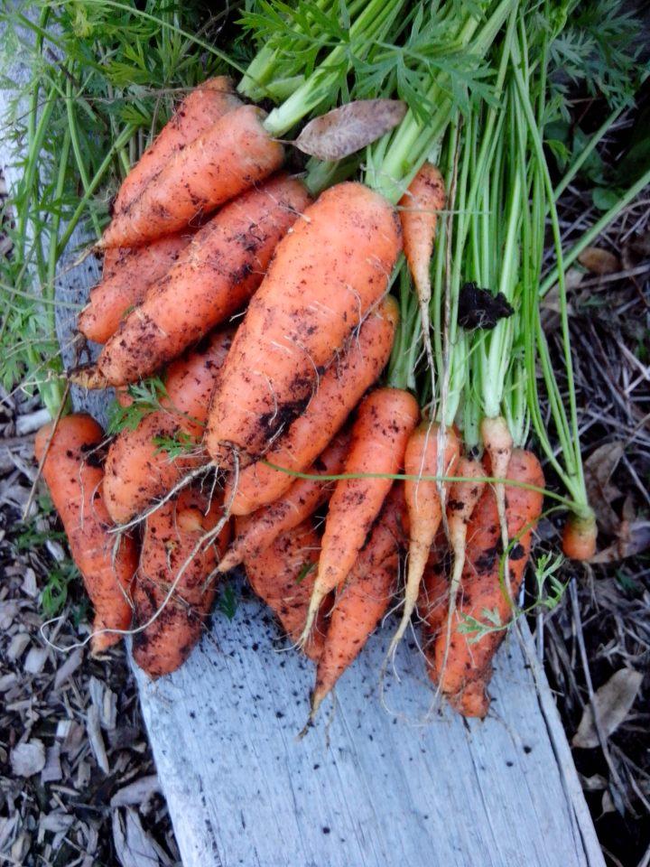 IMG_20130526_160904-Carrot harvest