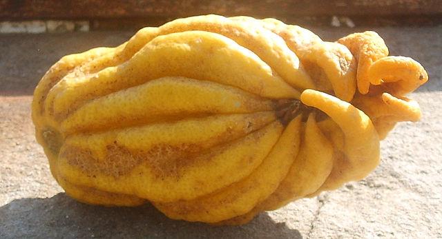 Buddha's had citron-640px-Castello,_collezione_degli_agrumi_06