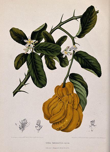 (Citrus_sarcodactylis_Hort._Bog.);_Wellcome_V0042687