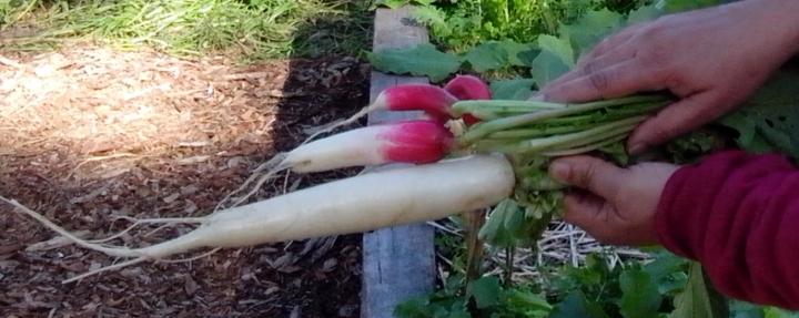 IMG_20140517_113026-long radishes