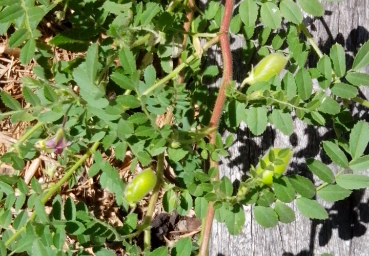 IMG_20151117_120029-chickpea pods