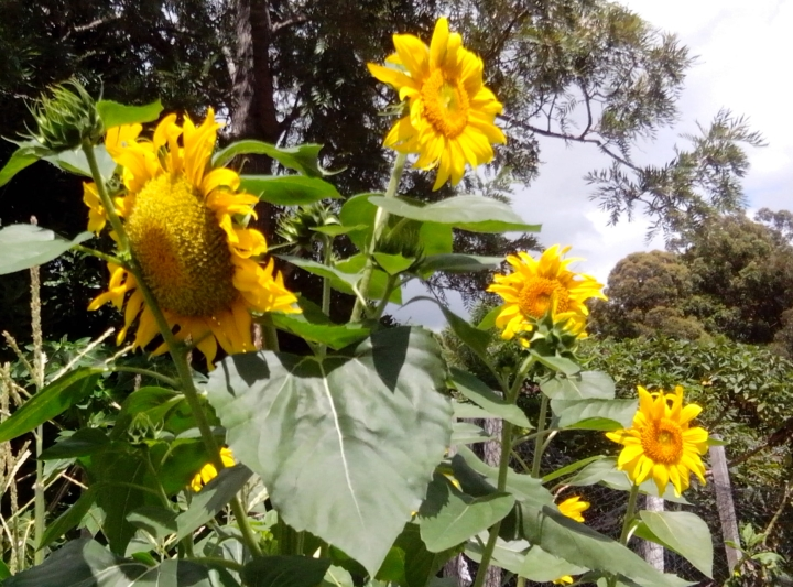IMG_20160116_114024-Sunflowers growing 2
