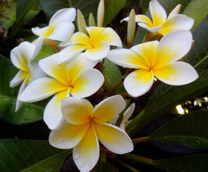 IMG_20160129_170316-frangipani flowers