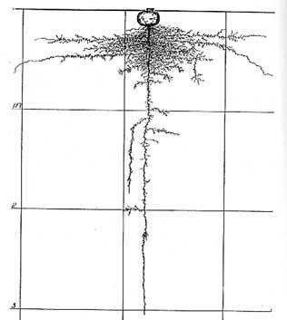 Radish root systemfig47