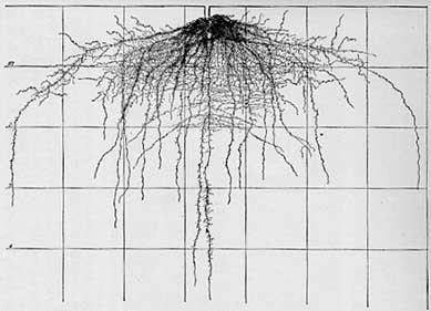 Cabbage root system