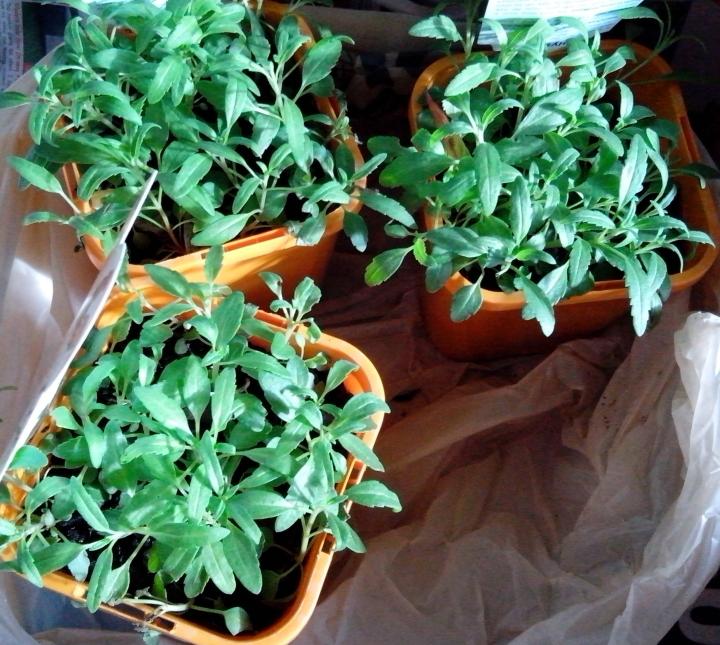 IMG_20140608_145434-hyssop plants