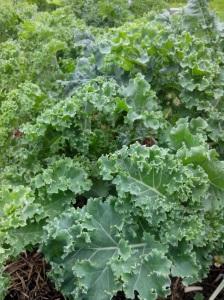 IMG_20151114_084948 (3)Kalee growing
