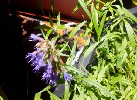 IMG_20151206_120926-Hyssop flowering