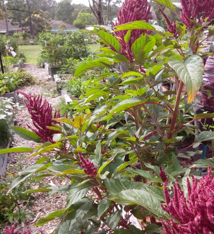 IMG_20160102_095017-amaranth plant