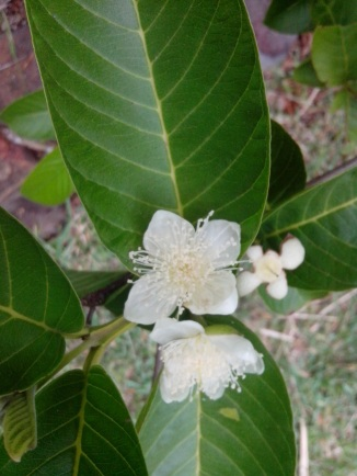 IMG_20141126_102523-guava flowers 2