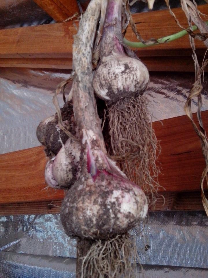 IMG_20151117_122456-garlic harvest