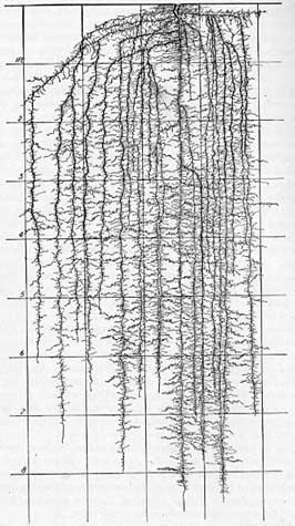 Kohlrbi root system