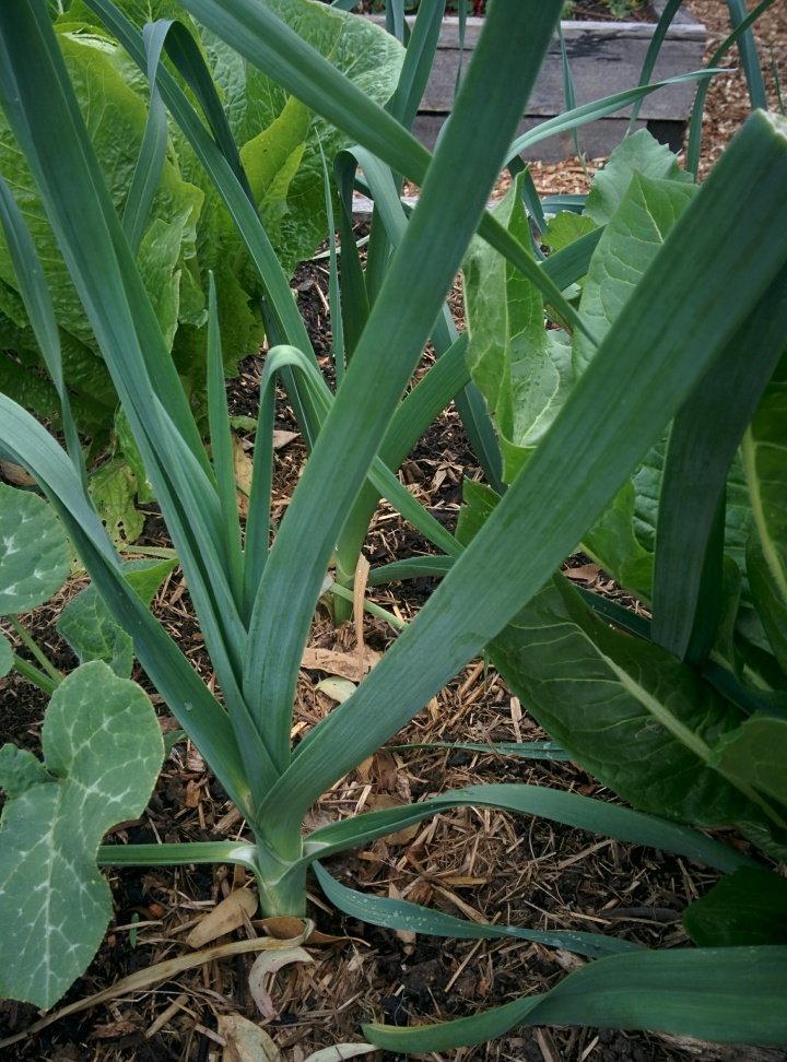 IMG_20161026_154547-Leeks Growing