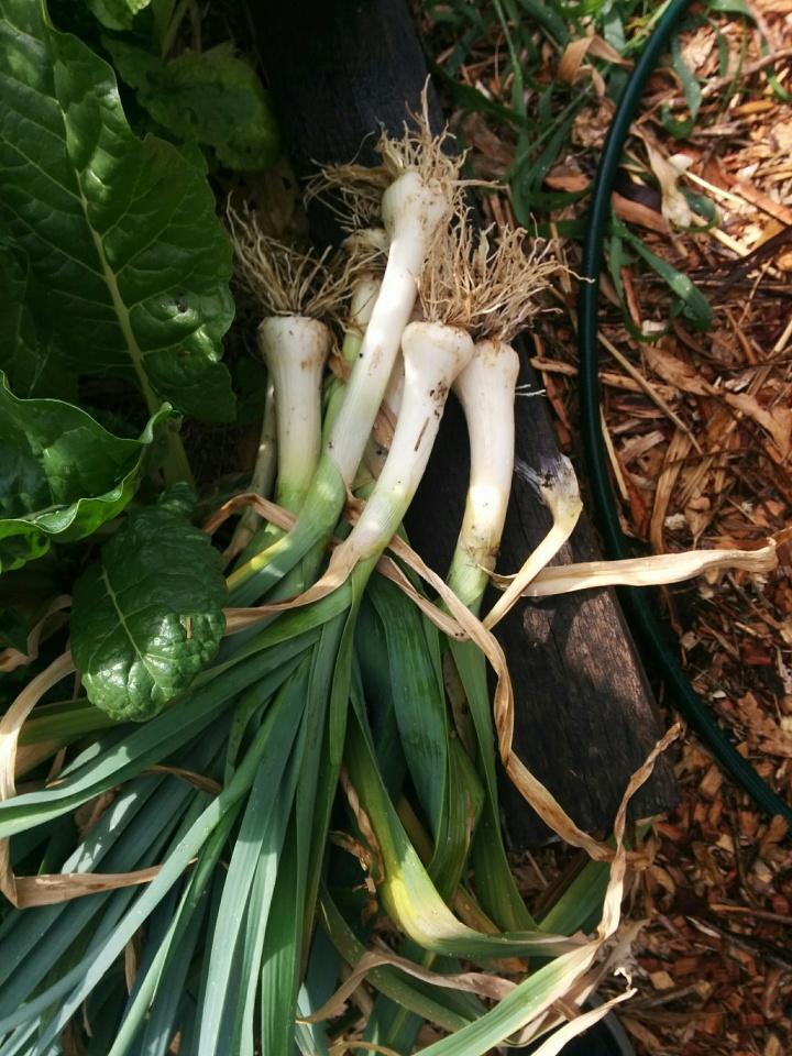 IMG_20161204_094323-Leeks harvested