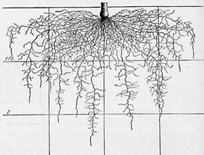 Leek root system