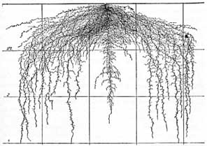 Root system of mature pea plant