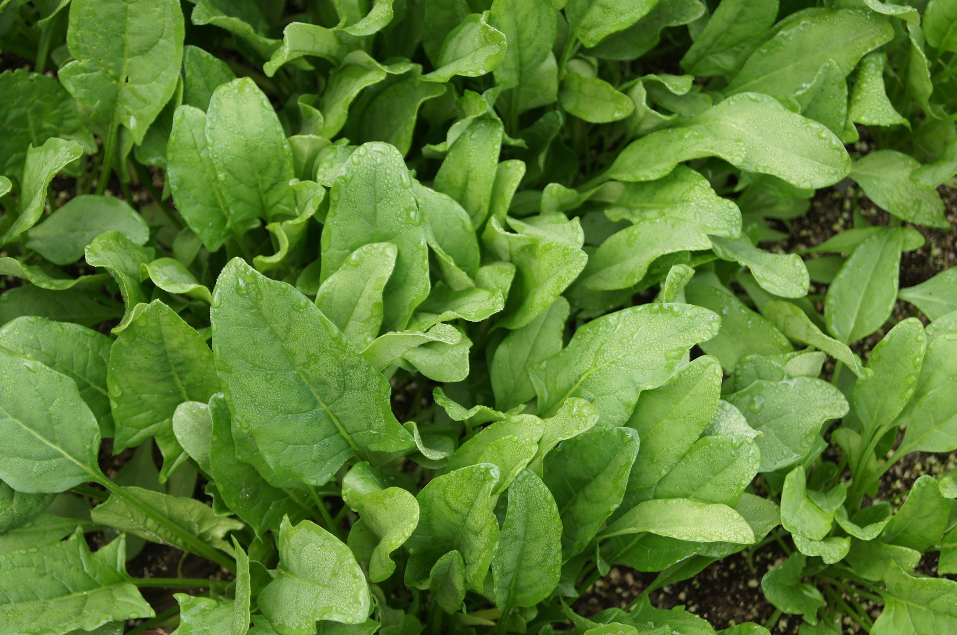 how to grow spinach soil