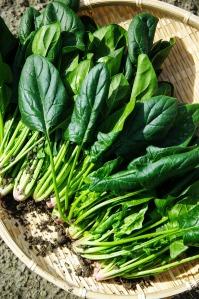 vegetables-1125420_1920-Spinach harvest