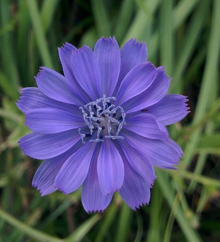 IMG_20160606_162511 (1)-Chicory flower