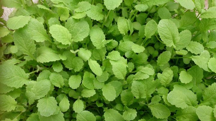 green-585484_1920-mustard greens