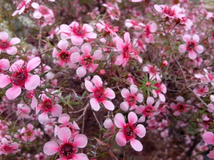 IMG_20130908_114620-Leptospermum pink