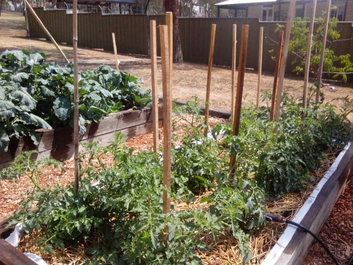 IMG_20131108_104814-tomato plants 2