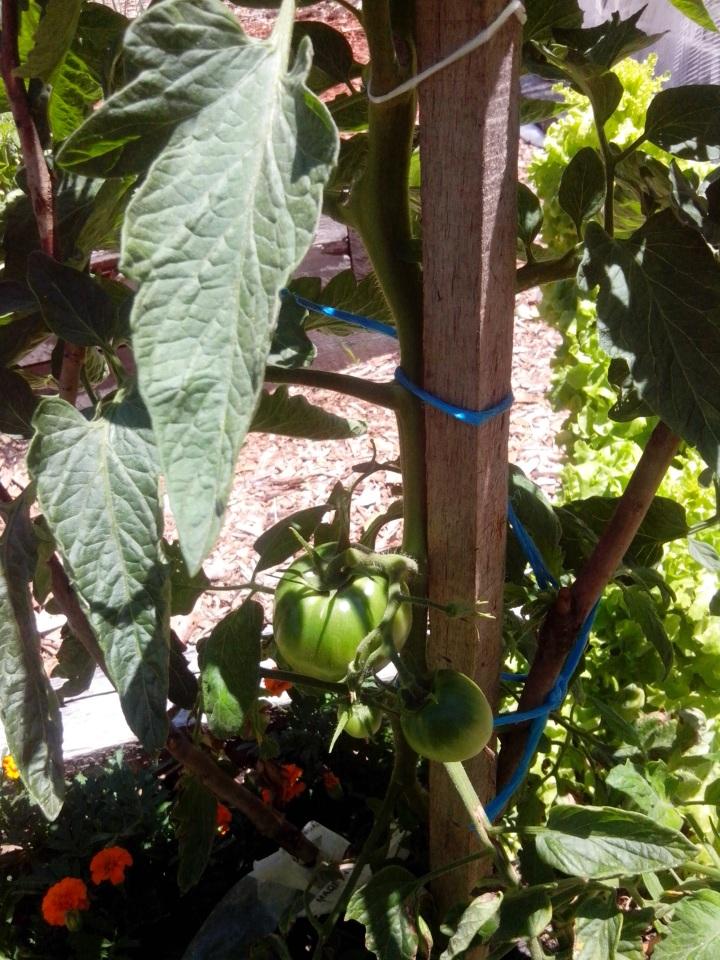 IMG_20141202_114407-tomato plant 3