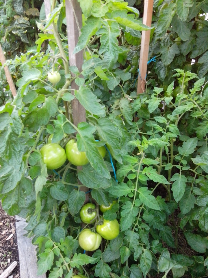 IMG_20141220_094106-tomato plants 5