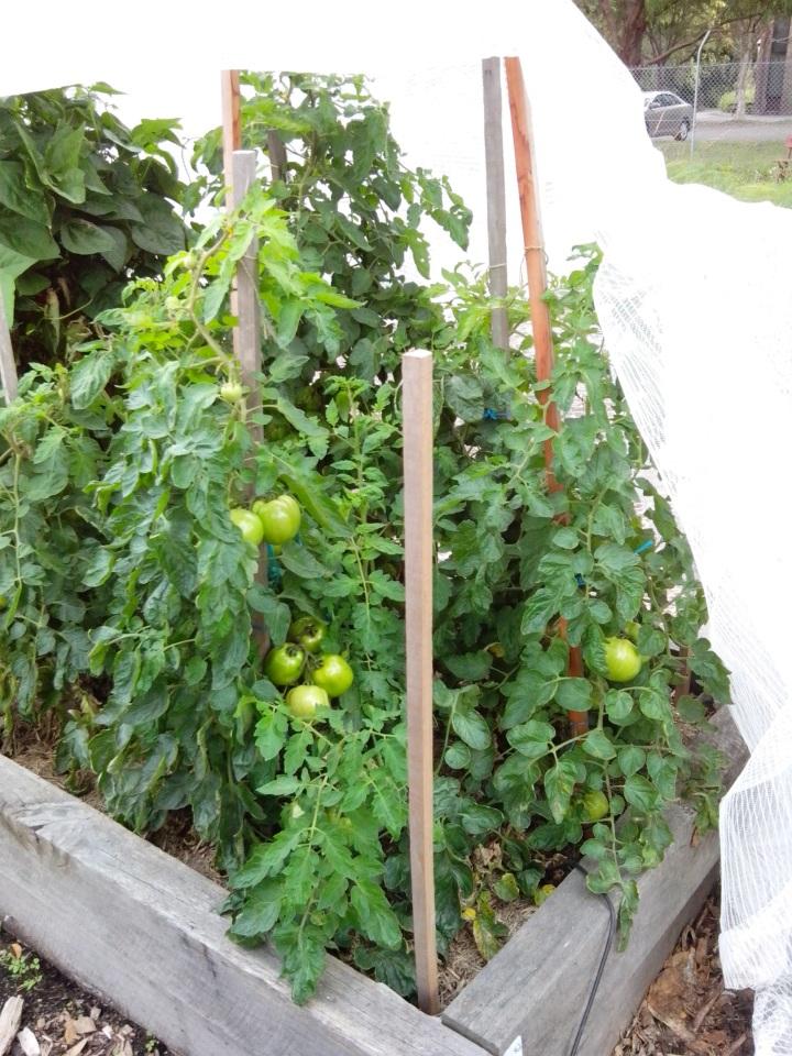 IMG_20141220_094123-tomato plants 4