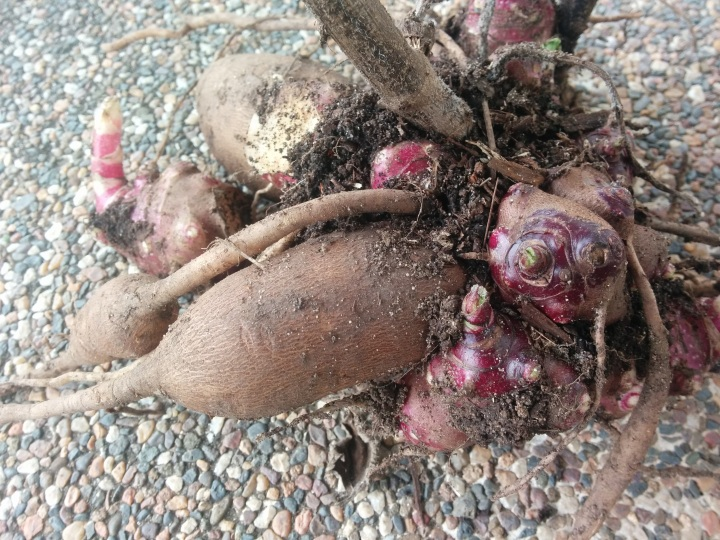IMG_20160806_144442-Yacon tuber and rhizome