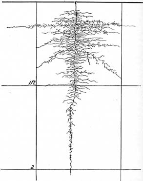 Parsnip early root system
