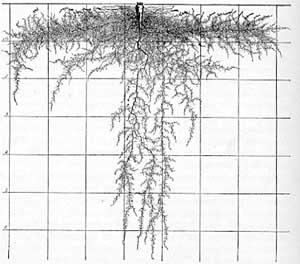 Parsnip mature plant