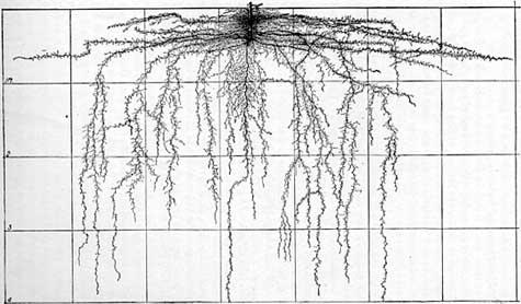 Tomato roots